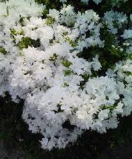 Shirotutuji