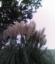 Panpasgrass09_2