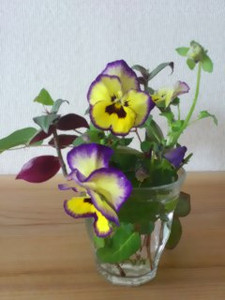 Pansy13