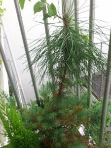 Hen_pine