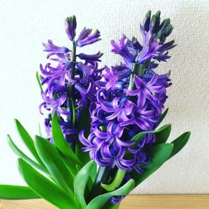 Hyacin16