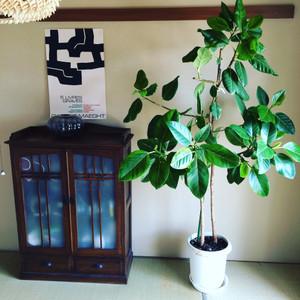 Ficus165